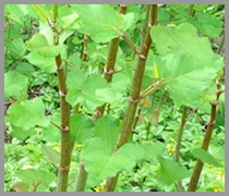 japanese knotweed swansea